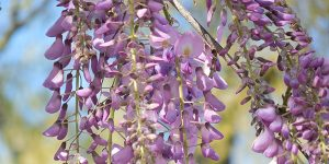 Glicinia es llamada wisteria en inglés